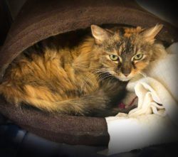 Peninsula Pet of the Week: Callie