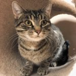 Peninsula Pet of the Week: Tigra