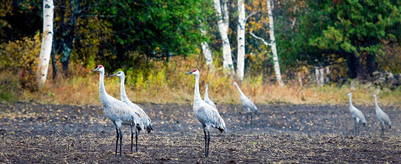 cranes-frykmans