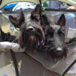 Door County Scottish Terrier Empire Barks Back